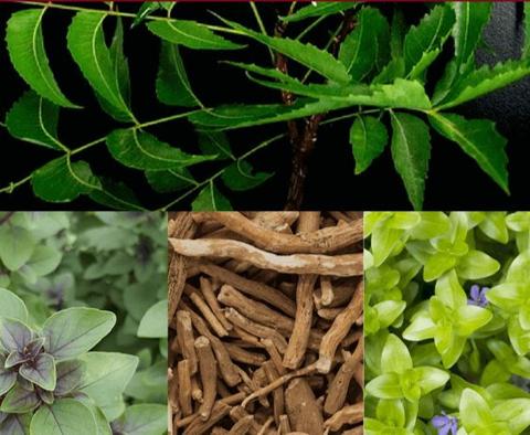 Sabe o que são plantas adaptogénicas? Eis 5 plantas que deve conhecer.